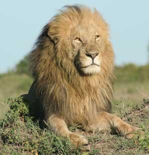 Masi Mara Lion